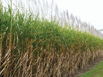 Cane-Field